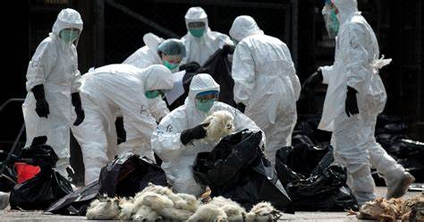 The Chinese chicken industry was almost wiped out in 2018 by the bird flu virus.